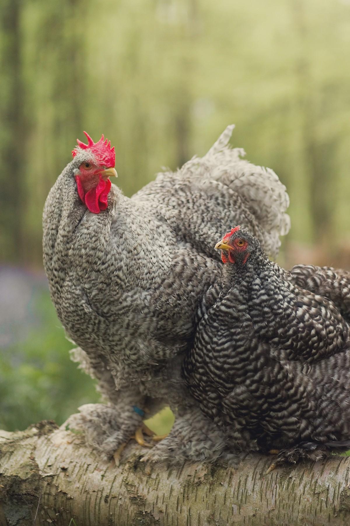 Chicken Engagement Shoot, Chicken Photographer, Cuckoo Cochin Chicken